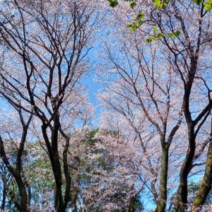 吉備の中山の吉備桜は満開でした