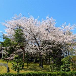 岡山県古代吉備文化財センター・御陵・黒住教神道山本部周辺の桜です