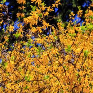 吉備の中山に連翹の花が咲いています