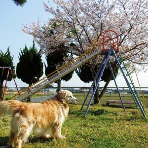 桜と滑り台とゴールデンレトリバー・・・町内の公園の桜です