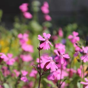 庭のシレネ・ペンデュラ(フクロナデシコ)の花です