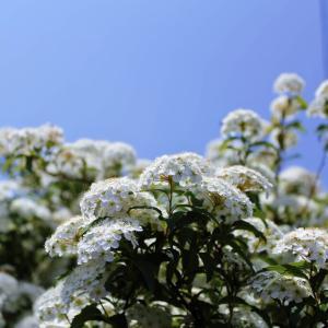 小手毬 (コデマリ)と大手毬(オオデマリ)の花です