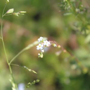 勿忘草によく似た花のキュウリグサです