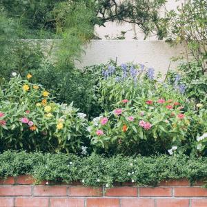 玄関前花壇のジニアの花&畦道のれお君です