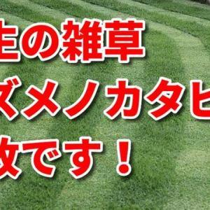 芝生の雑草 スズメノカタビラ 完敗です!