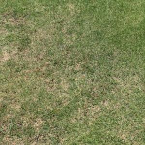 猛暑による夏の芝枯れ、マジかよ!