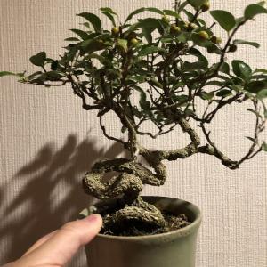 ツルウメモドキ&マユミの変わり木