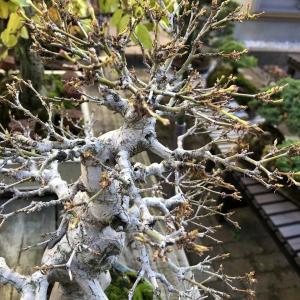ヤマモミジの寒樹