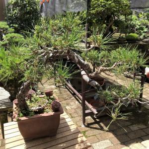 赤松No.3の芽掻きとミニギボウシ