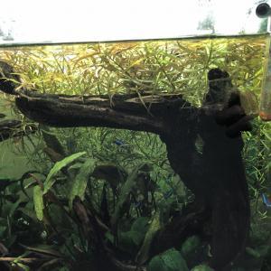 ロタラの剪定と藻の除去