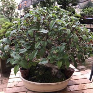 小品ケヤキNo.2の芽摘み