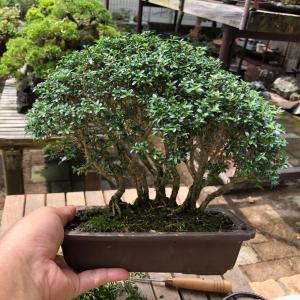 根連なりの香丁木を剪定す