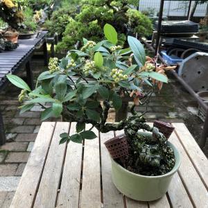 セイヨウカマツカNo.2の枝枯れ処理