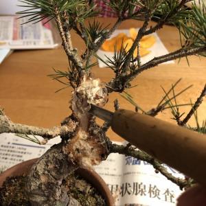 ボコボコ赤松をガリガリに2