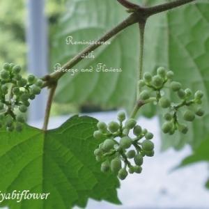 実から育てた野葡萄と落花生のその後
