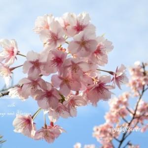 桜散歩:河津桜  赤いシベには「さよなら」が隠れている