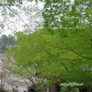桜散歩 花曇りの鎌倉 妙本寺