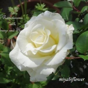 二十一年前の挿し木 ティネケが咲いたベランダ