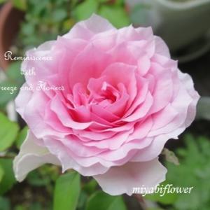 挿し木の薔薇が咲いた日 初夏のベランダで