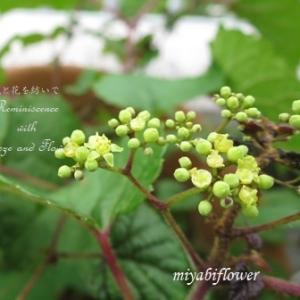 野葡萄の花、そして時計草と額紫陽花の実