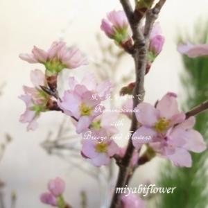 かづのの啓翁桜を生ける