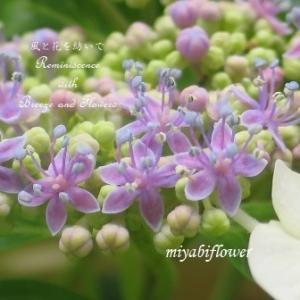 去年はピンクの額紫陽花、 今年は青が咲くの?