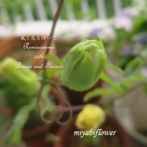 ミが咲いた時計草と正体が判明した小さな芽、セロリと盆踊りのその後