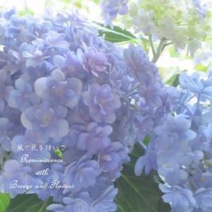 憧れて・・・紫陽花色に染まる