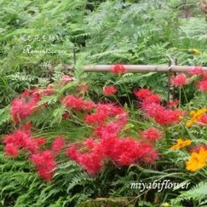 赤い花とハートの葉っぱのマルバルコウソウ