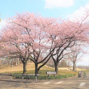 春色の河津桜。。。