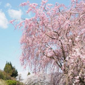 しだれ桜に惹きよせられる。。。