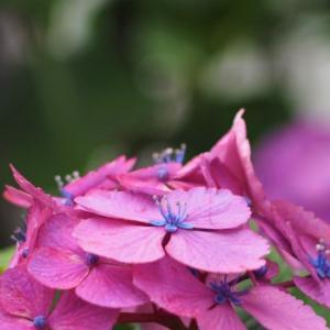 お隣さんの紫陽花も満開。。。