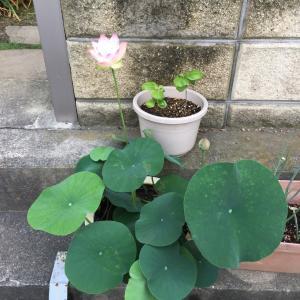蓮の栽培 10