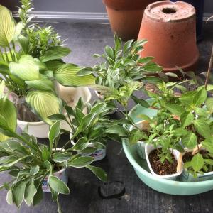 今日はイワダレソウをいっぱい植えます。