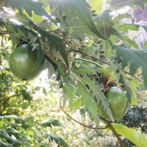 パッションフルーツの実が実りました!
