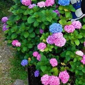 アジサイ咲きほころび、京都西山一帯がが美しく眺められる地域を歩くー走田神社