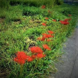 彼岸花が一斉に咲き乱れるのは来週半ばぐらいか