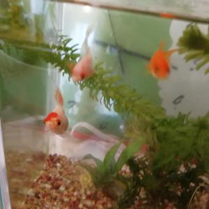 金魚が、、、(泣)☆ハイビスカス(瀕死)を、越冬させる!