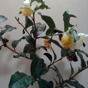 チャノキの花~