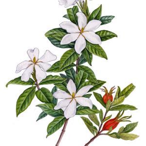 クチナシの花と実~