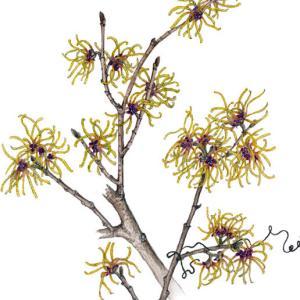早春の花~マンサク