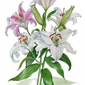 ユリの花~カサブランカ