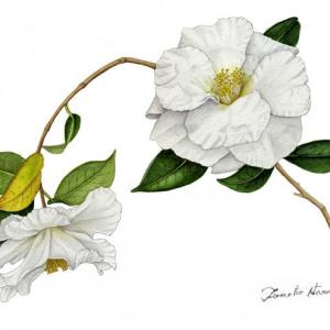 大輪の椿、白羽衣~