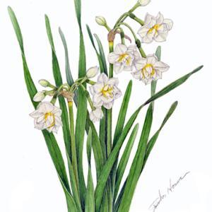冬の花~ニホンスイセン