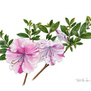 サツキの花~