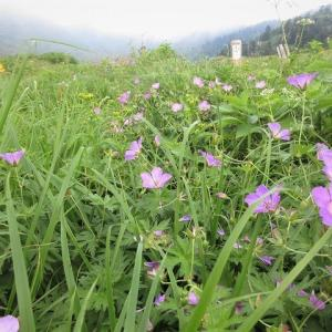 白山 花模様の南竜ヶ馬場・油坂の頭     Mount Haku in Hakusan National Park