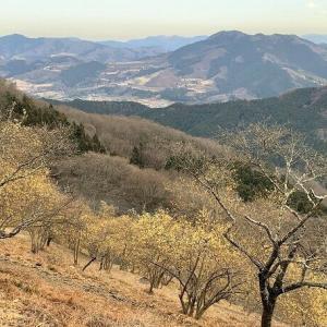 藤岡市 桜山公園のロウバイ     Mount Sakura in Fujioka, Gunma