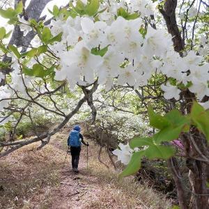 塩原・高原山 シロヤシオ満開の尾根から大入道へ     Mount Takahara in Nikkō National Park