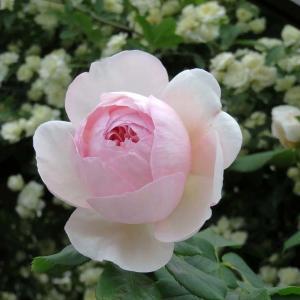 バラの季節がきたね