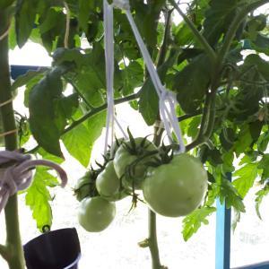 お久しぶりです。/トマトの収穫